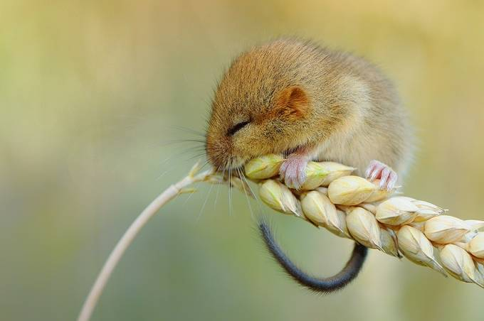 One little mouse by Prijaznica - Small Wildlife Photo Contest