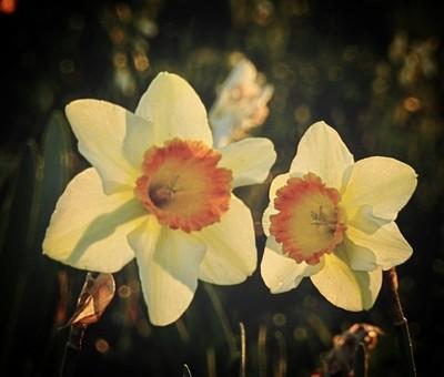 Dueling Daffodils