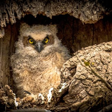 Great Horned Owl Chick, in nest, two days prior to fledging.