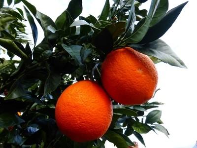 two oranges P1260385