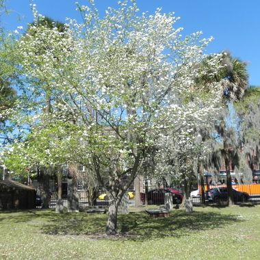 1.5 weeks before Easter in Savannah, GA in Colonial Park, on Abercorn
