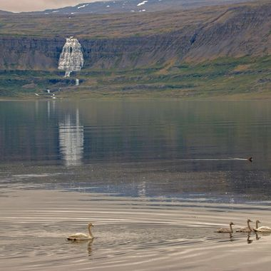 Fjords in Iceland with swans and a waterfall in the background