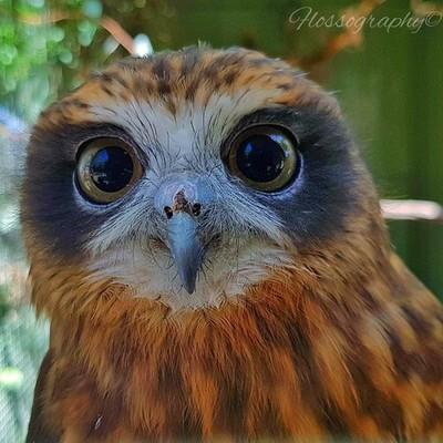 Woo you looking at? #owl #owlsofinstagram #birdsofinstagram #birdsofprey #Hey_ihadtosnapthat #australiagram #focusaustralia #australia_shotz #ig_down_under #ig_creativephotography #instalike #ig_aussiepix #1more_australia #australiacolors #creativegrams #