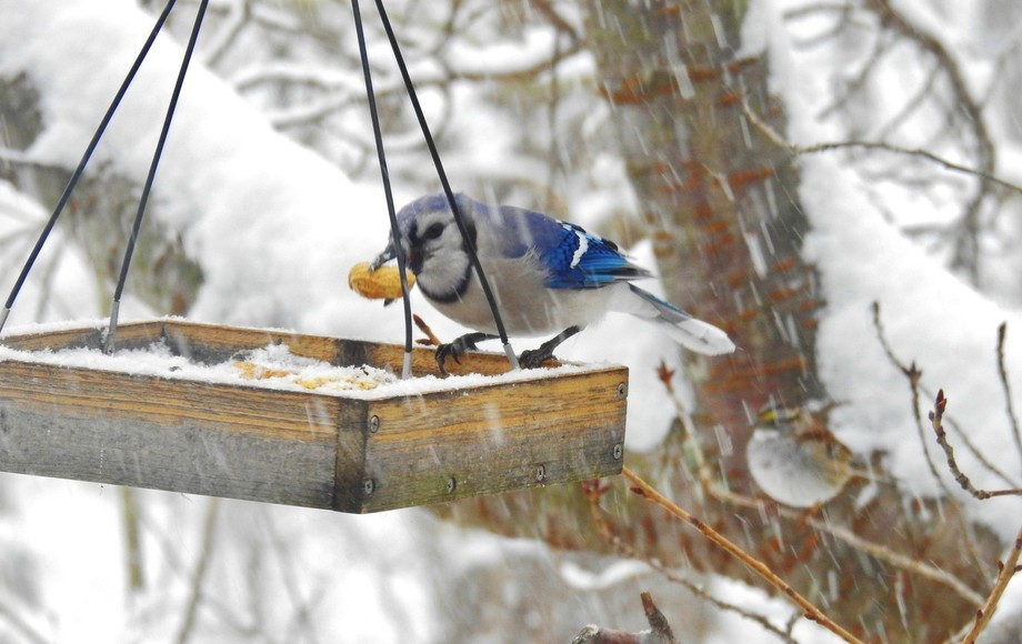 blue jay with peanut in a snowstorm
