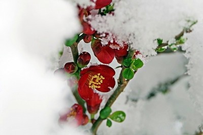 Quince flower in snow