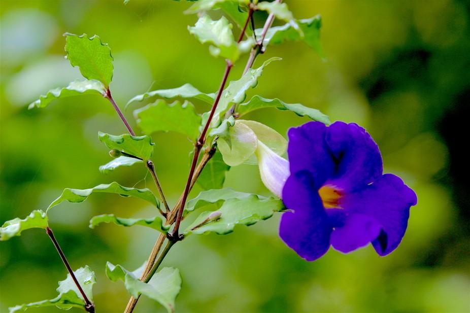 Awana Purple