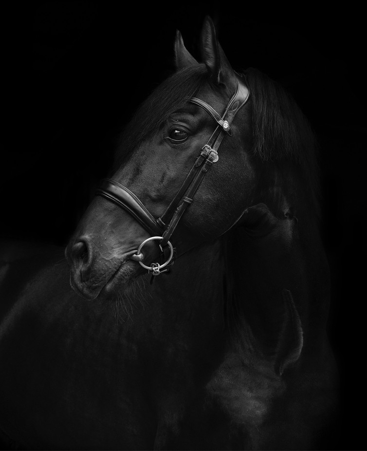 PRE stallion 'Flamenco' by amirahshalyn - The Magic Of Editing Photo Contest