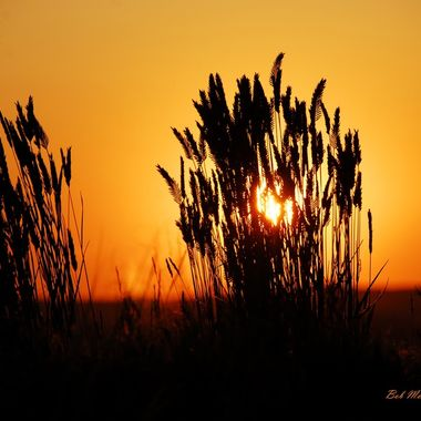Tall grass at sunset in Wyoming