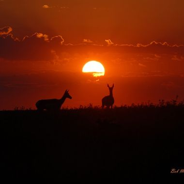 Antelope (Pronghorn Antelope) at sunset in Wyoming.