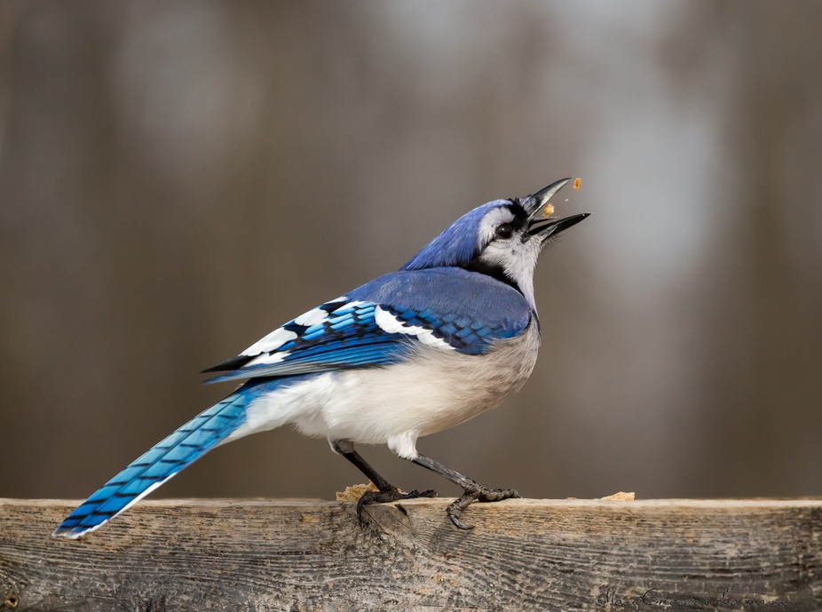 I waited several hours for this cool Blue Jay to show up... :)