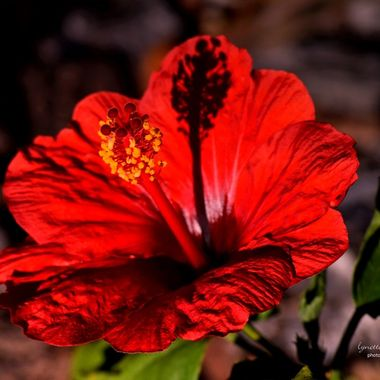 Hibiscus at Golden Hour