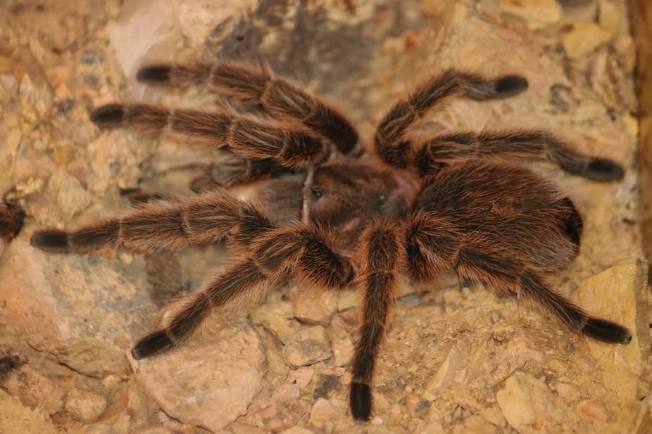 a chilaen rose tarantula