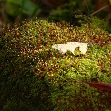 Oak leaf morning