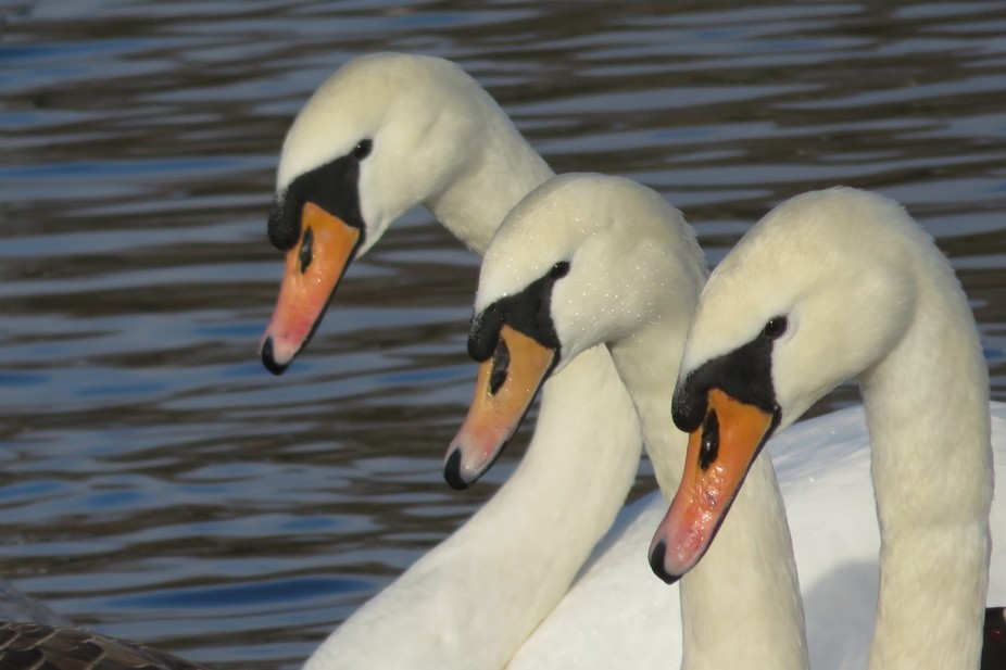 it was a tenuous wait to see if the outside Swan would drop their beak to be level with the other...