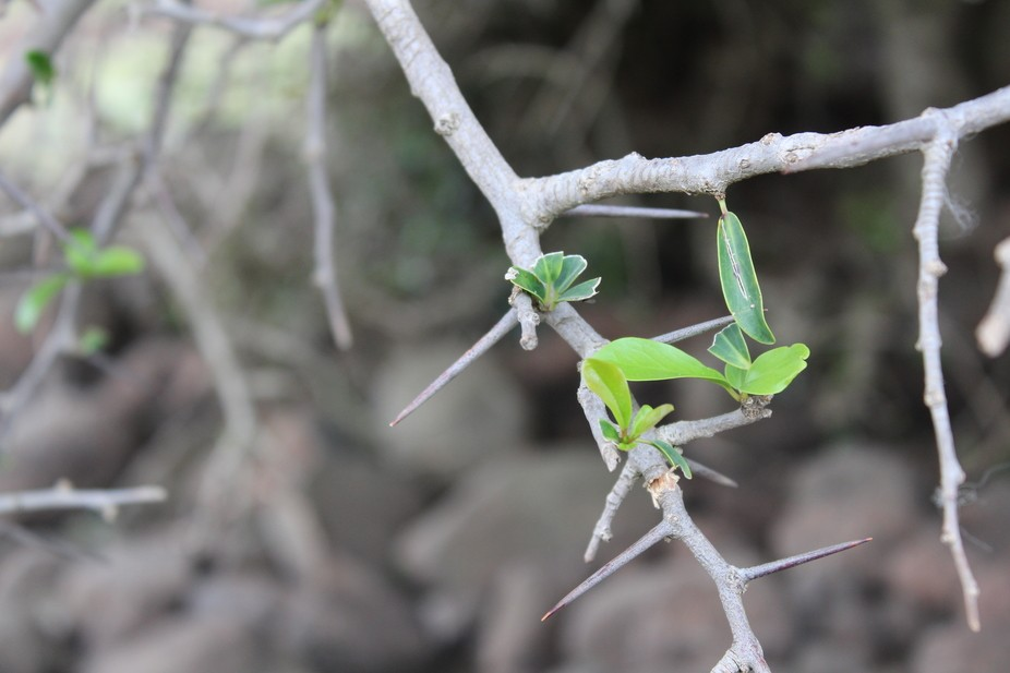"""A few green shoots on a thorny branch of a tree, named """"Umqokolo"""" in the Xhosa ..."""