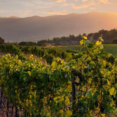 Belle Fiore Vineyard Sunset