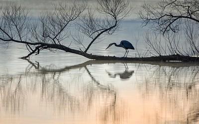Blue heron fishing