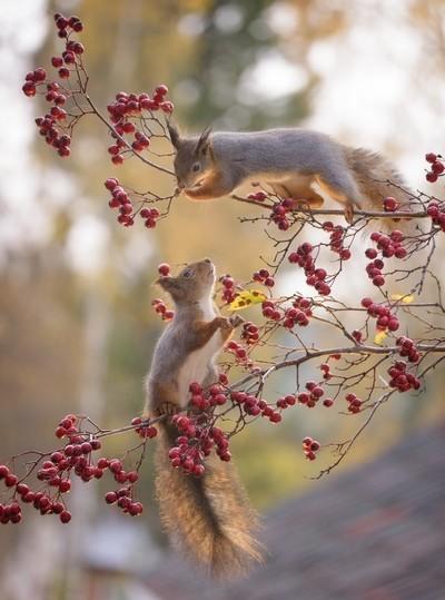 squirrel berry walk