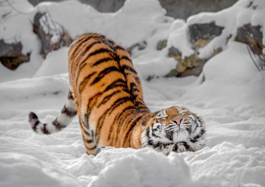 Нега амурской тигрицы...