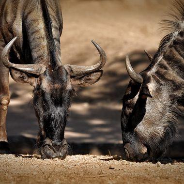 Blue wildebeest - Connochaetes taurinus taurinus