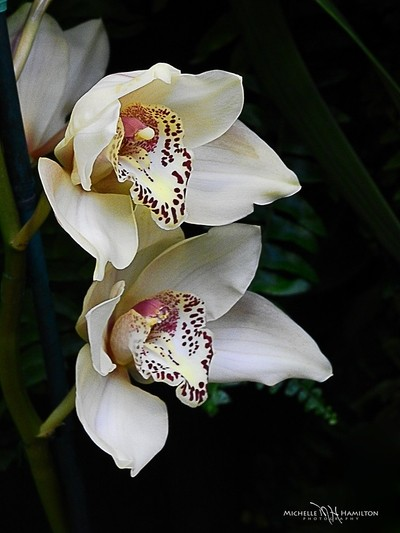 Cramy Orchids