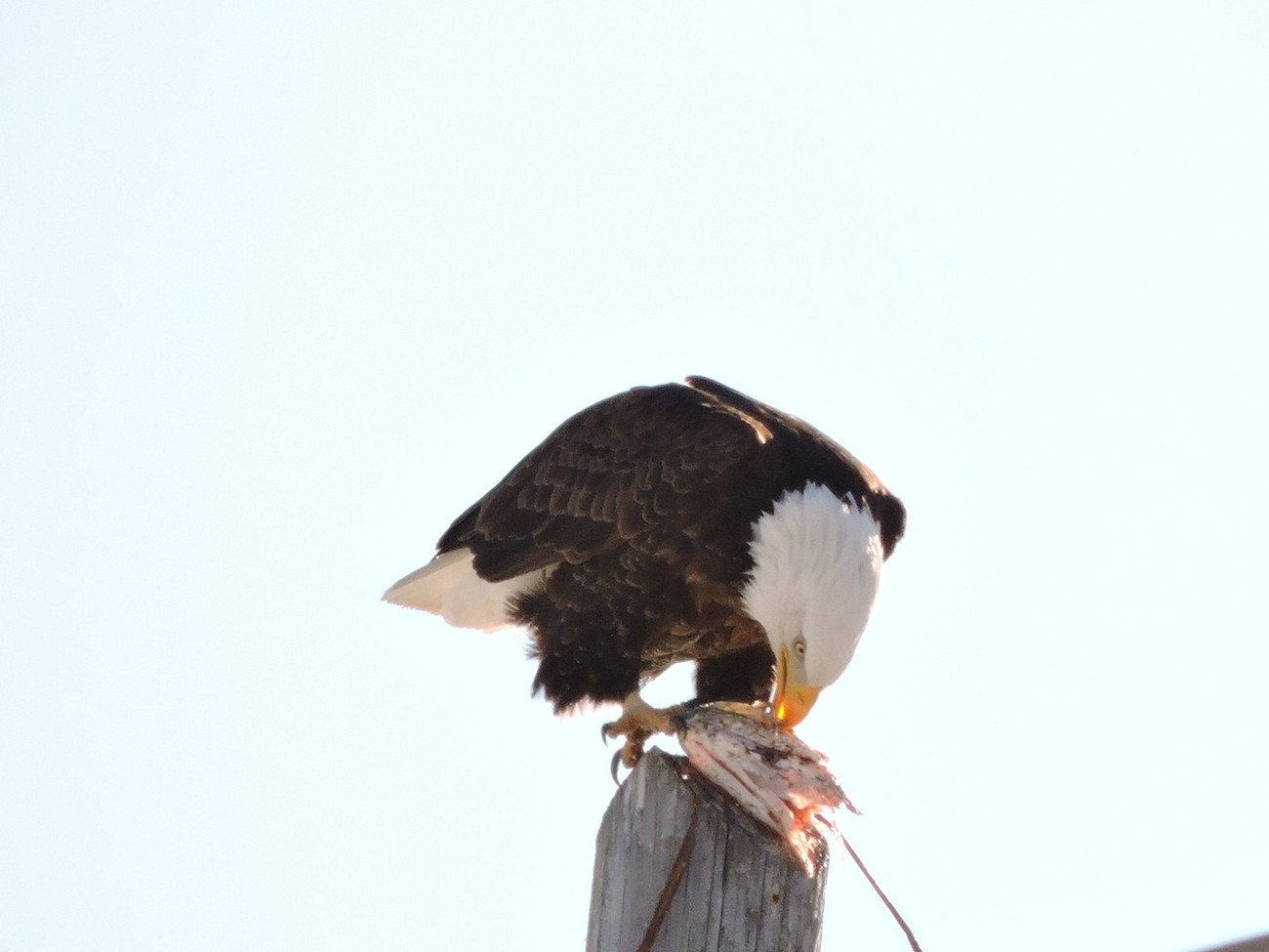 nearly everyday this fellow is spotted on his favorite power pole, patiently waiting for a fish to catch