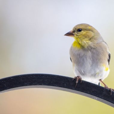 Yellow finch in my garden