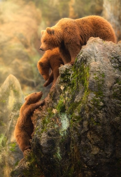 Brown bear's family.
