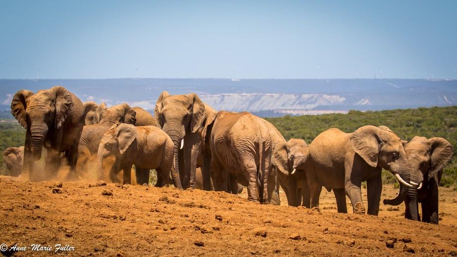 Addo Elephant Family