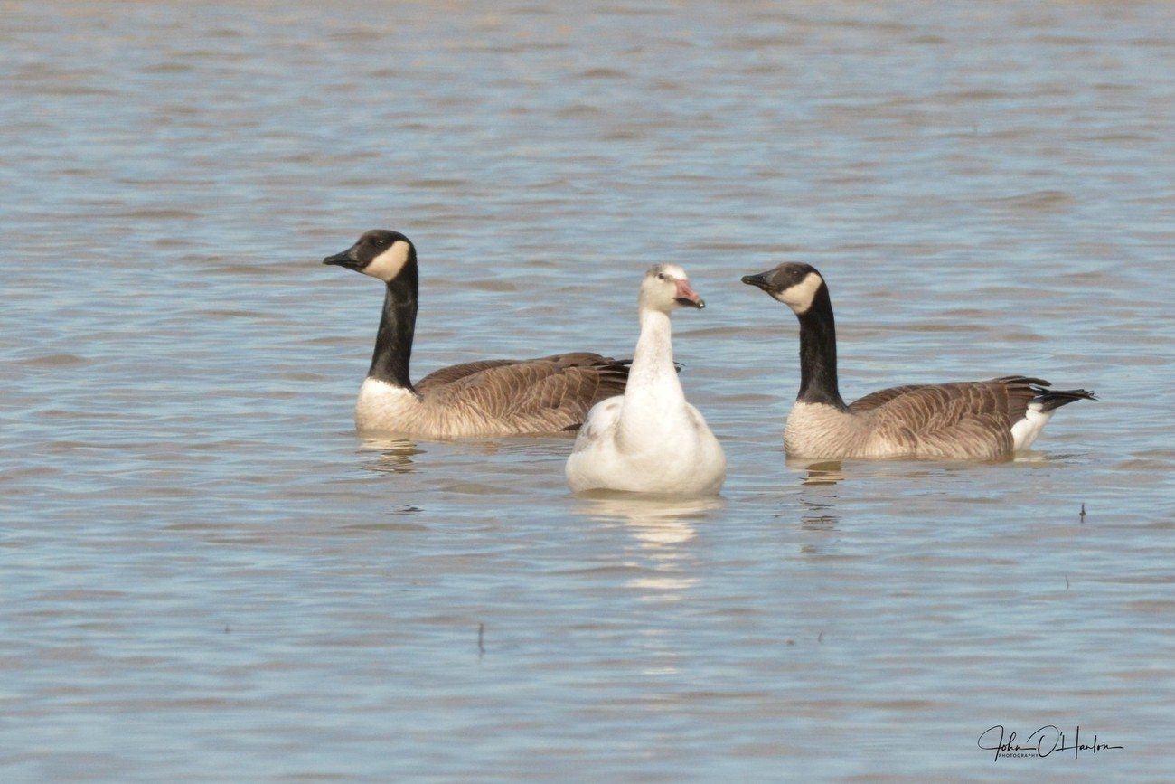 Two Canadain Geese and a Ross Goose