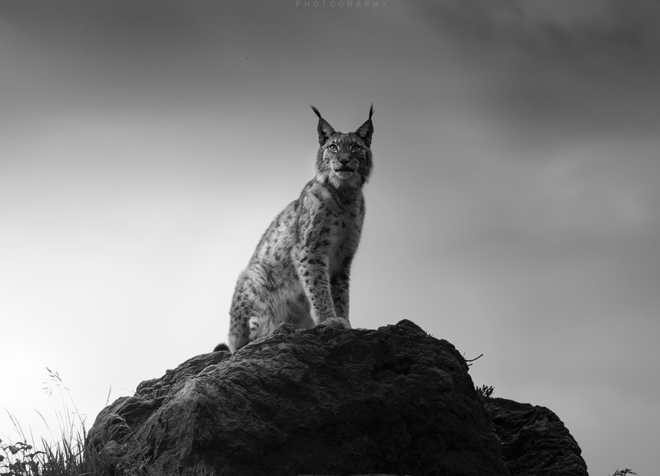 Boreal lynx portrait, on top of a mountain.
