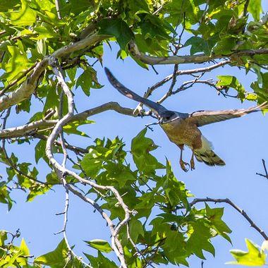 Cooper's Hawk bringing home nest building material