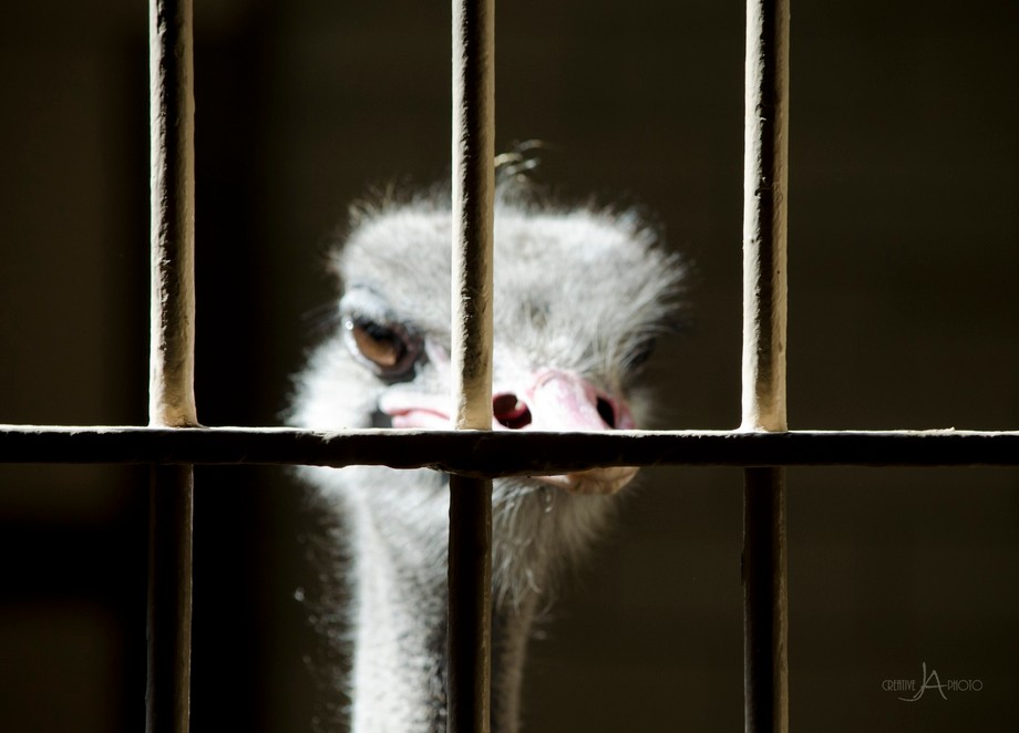 They had my guy (or girl) Ostrich locked up at the St. Louis, MO zoo... #FreeOstrich