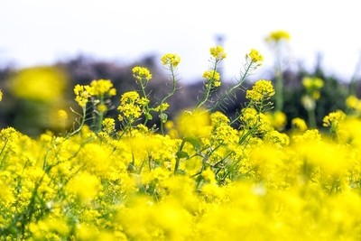 Jeju Canola Flower Field