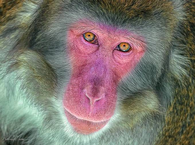 Macaque Japonais by mafe - Pink Photo Contest
