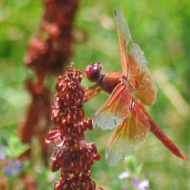 Red Dragonfly on Maroon Weed 2