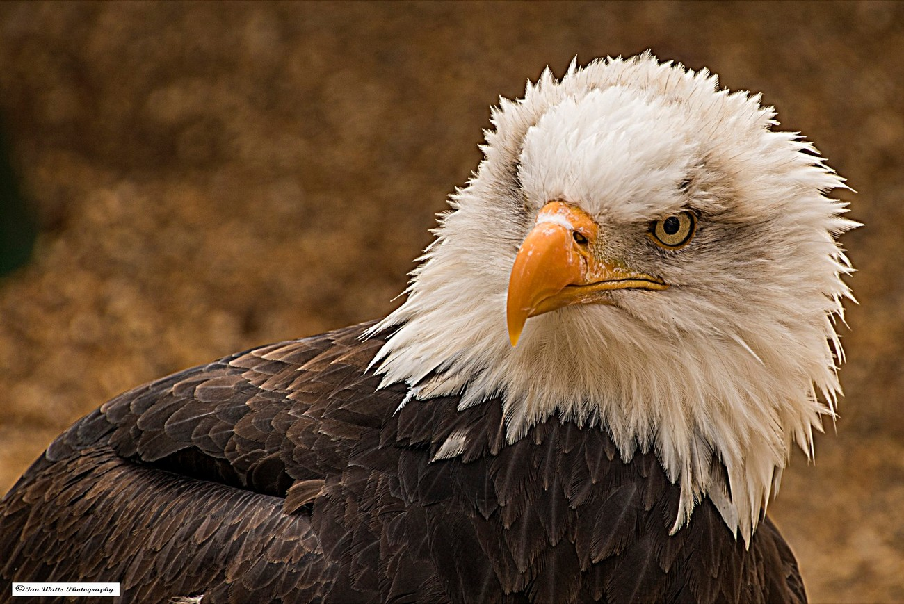 Intensely staring bald eagle