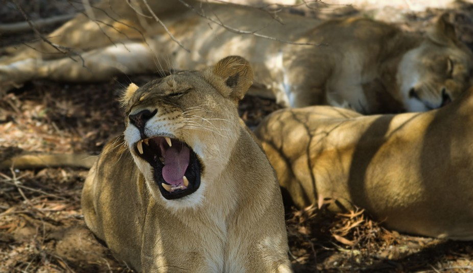An injured lion still knows how to roar!  This photo was taken at Monarto Zoo, Adelaide which is ...
