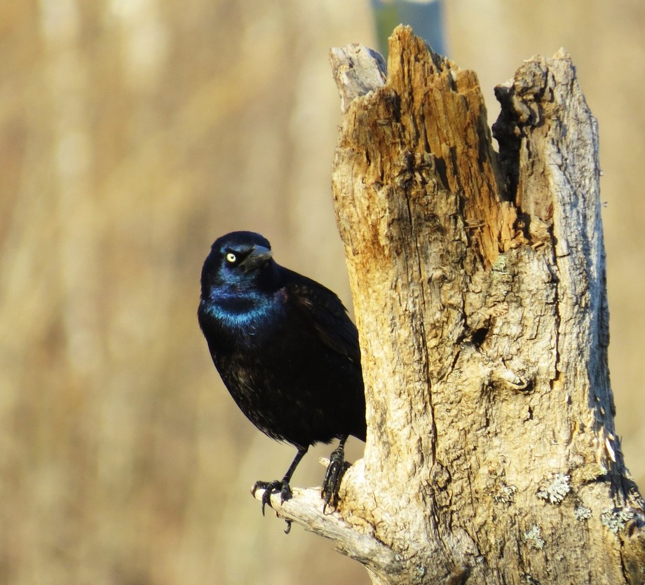 Grackle. Good name for it. Highly amusing......