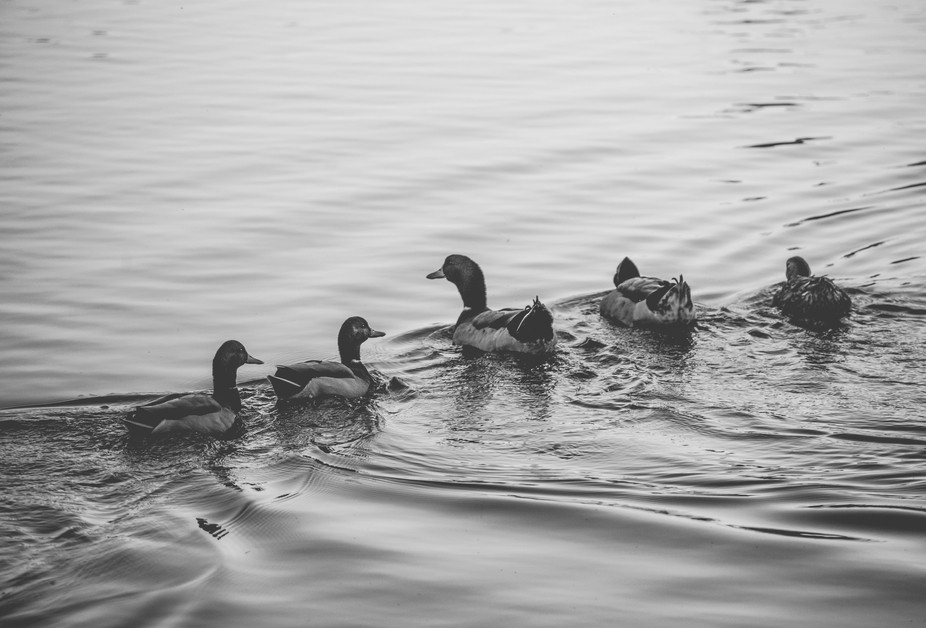 A beautiful black and white image of some ducks just hanging out.