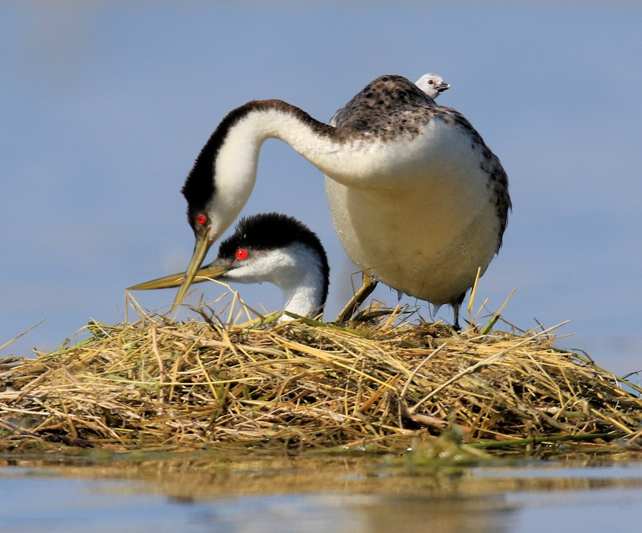 Baby Grebe on Back of Parent