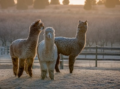 Alpaca Sunrise