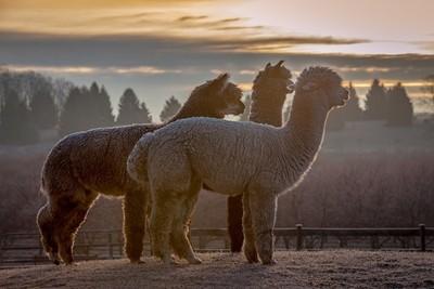 Alpacas Frosty Morning Sunrise