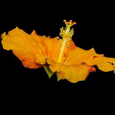 Hibiscus, Costa Rica 11/2017,IMG_4180-2