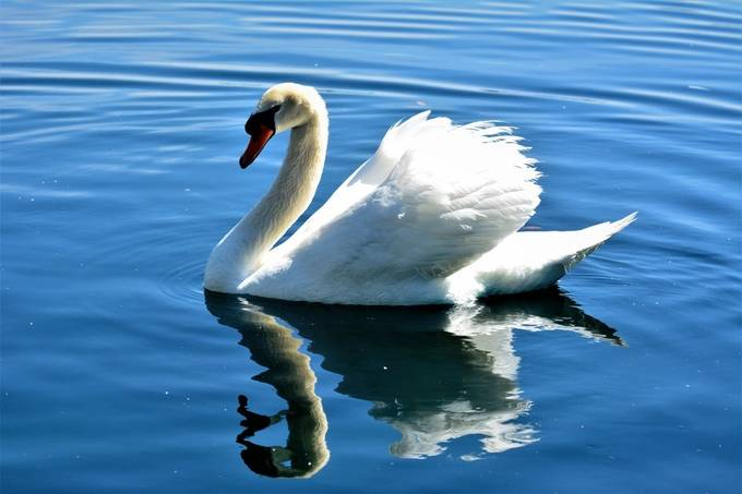 """From Wikipedia, the free encyclopedia  Swans are birds of the family Anatidae within the genus Cygnus. The swans' close relatives include the geese and ducks. Swans are grouped with the closely related geese in the subfamily Anserinae where they form the tribe Cygnini. Sometimes, they are considered a distinct subfamily, Cygninae. There are six or seven species of swan in the genus Cygnus; in addition there is another species known as the coscoroba swan, although this species is no longer considered one of the true swans. Swans usually mate for life, though """"divorce"""" does sometimes occur, particularly following nesting failure, and if a mate dies, the remaining swan will take up with another. The number of eggs in each clutch ranges from three to eight.  Etymology and terminology The English word 'swan', akin to the German Schwan, Dutch zwaan and Swedish svan, is derived from Indo-European root *swen (to sound, to sing).[1] Young swans are known as swanlings or as cygnets; the latter derives via Old French cigne or cisne (diminutive suffix -et """"little"""") from the Latin word cygnus, a variant form of cycnus """"swan"""", itself from the Greek κύκνος kýknos, a word of the same meaning.[2][3][4] An adult male is a cob, from Middle English cobbe (leader of a group); an adult female is a pen.[5]  Description  A mute swan landing on water. Due to the size and weight of most swans, large areas of open land or water are required to successfully take off and land. Swans are the largest extant members of the waterfowl family Anatidae, and are among the largest flying birds. The largest species, including the mute swan, trumpeter swan, and whooper swan, can reach a length of over 1.5 m (59 in) and weigh over 15 kg (33 lb). Their wingspans can be over 3.1 m (10 ft).[6] Compared to the closely related geese, they are much larger and have proportionally larger feet and necks.[7] Adults also have a patch of unfeathered skin between the eyes and bill. The sexes are alike in plumage, but m"""