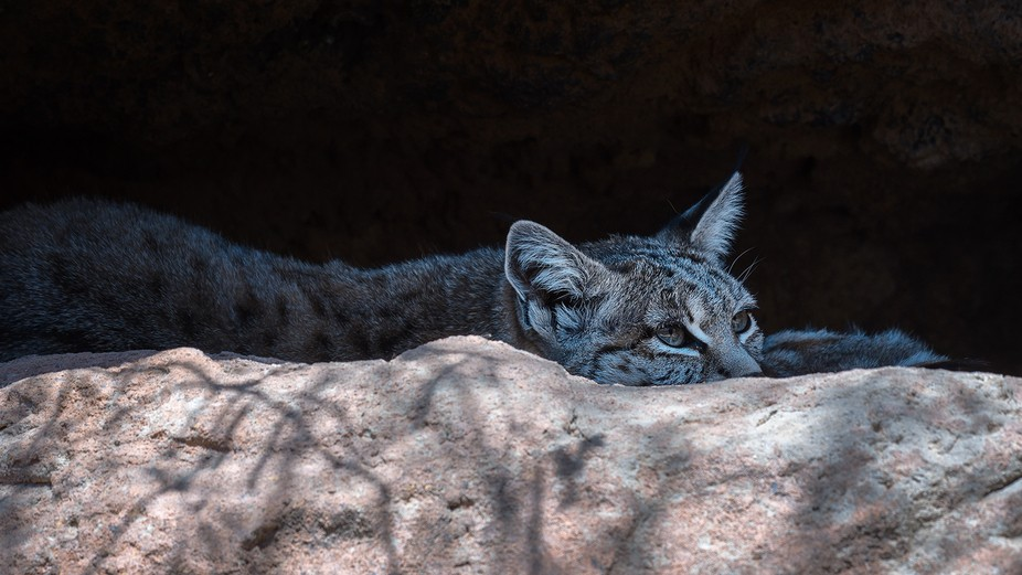 This Bobcat was just lying in wait inthe shadow of an overhang. He was almost invisible... (c) Du...