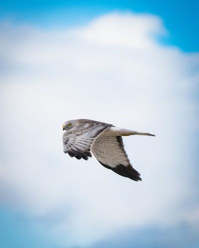 Grey Ghost in Flight