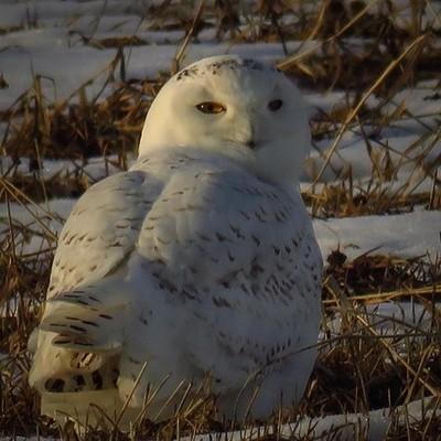 Male Snowy Owl in the Washington County Grasslands. #snowyowl #washingtoncountygrasslands #wander #birding #birdwatching #birdphotography #birdsofinstagram #canon_photos #canonglobal #canonwhatelse #elite_raptors #elite_owls #pocket_birds #mybirdwatch #be