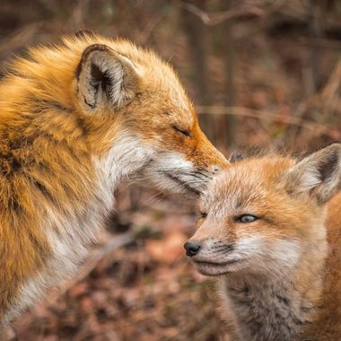 Mama fox nuzzles her kits ear after a little nap.