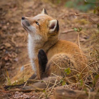 This little fox kit was carefully watching a large bird above as it waited for its Mother to return with dinner